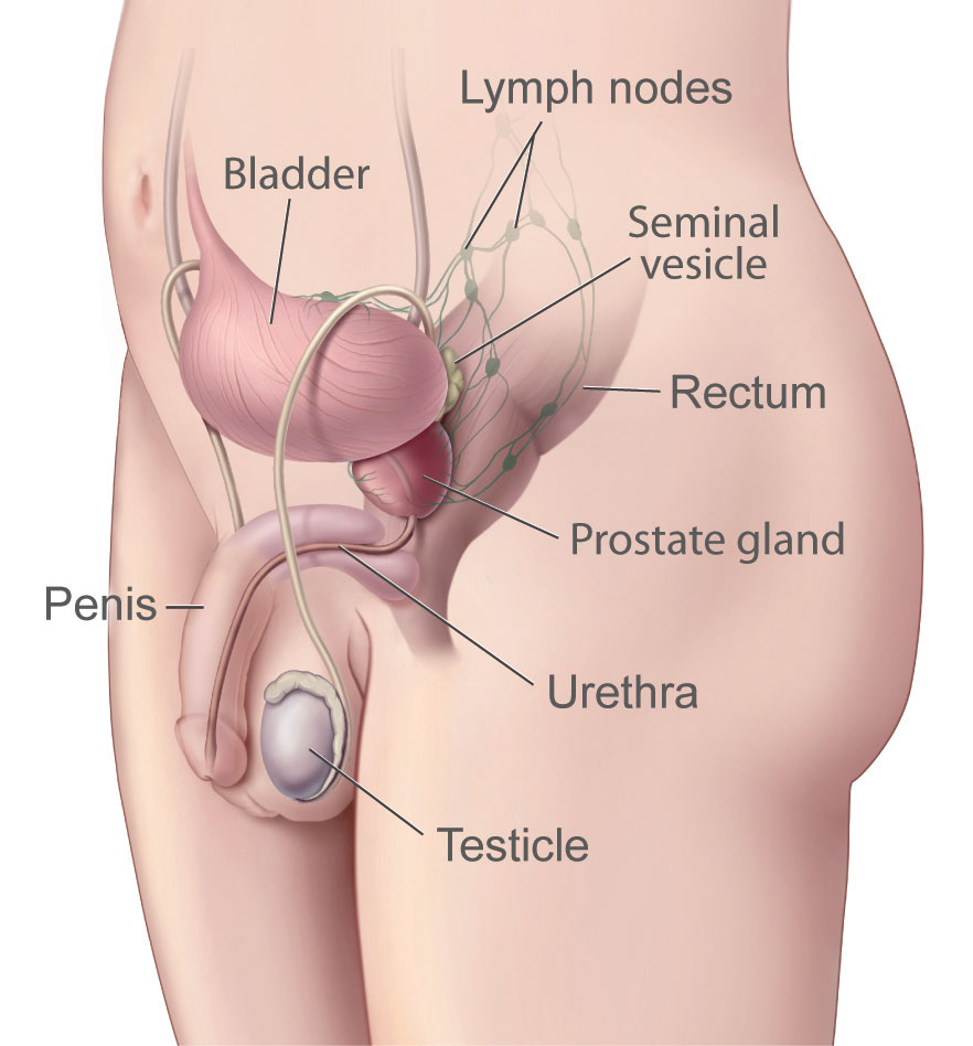 Male reproductive System showing Prostate Gland